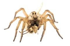 Araña y dos de sus víctimas Imagen de archivo libre de regalías