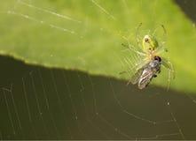 Araña y mosca Imagen de archivo