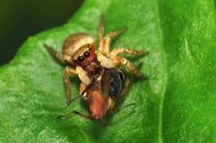 Araña y presa de salto esmeralda del aurantius de Paraphidippus Fotografía de archivo