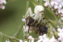 Araña y presa del cangrejo Imagen de archivo libre de regalías