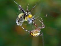 Araña y su víctima. Imagen de archivo libre de regalías