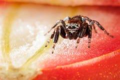 Araña y tomate de salto Imagen de archivo libre de regalías
