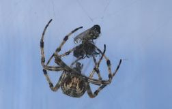 Araña y víctima Imágenes de archivo libres de regalías