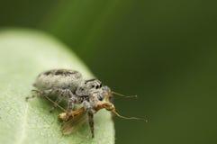 Araña y víctima de salto Imagen de archivo