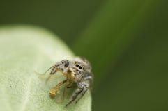 Araña y víctima de salto Imagenes de archivo