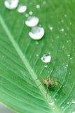 Araña y waterdrops en la hoja Foto de archivo