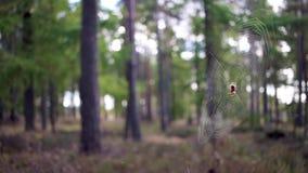 Araña y web comunes con descenso trasero del arbolado del pino durante otoño almacen de video