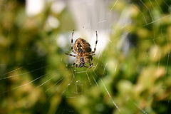 arañas Imágenes de archivo libres de regalías