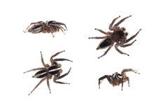 Arañas de salto Imagen de archivo libre de regalías