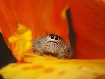 Arañas de salto adorables fotos de archivo libres de regalías