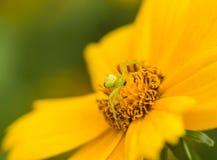 Arañas depredadoras Fotos de archivo