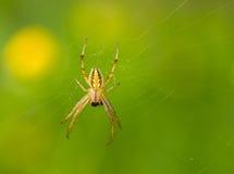 Arañas depredadoras Imágenes de archivo libres de regalías