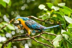 Ara在厄瓜多尔人阿马佐尼亚的金刚鹦鹉鹦鹉 库存图片