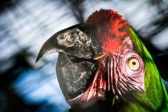 Ara特写镜头五颜六色的鹦鹉的头  库存图片