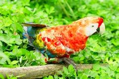 Ara金刚鹦鹉鸟在似亚马逊密林 图库摄影