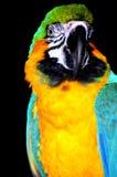 ara鹦鹉纵向 图库摄影