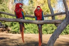 Ara Μακάο ή ερυθρό Macaw Στοκ φωτογραφία με δικαίωμα ελεύθερης χρήσης