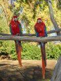 Ara Μακάο ή ερυθρό Macaw Στοκ Εικόνα