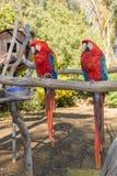 Ara Μακάο ή ερυθρό Macaw Στοκ εικόνα με δικαίωμα ελεύθερης χρήσης