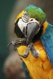 Ara Μακάο παπαγάλων που καθαρίζει το πόδι του Στοκ Φωτογραφία