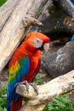 ara Μακάο macaw ερυθρό Στοκ φωτογραφίες με δικαίωμα ελεύθερης χρήσης