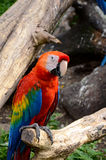 ara Μακάο macaw ερυθρό Στοκ Φωτογραφία