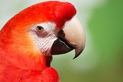 ara Μακάο macaw ερυθρό Στοκ φωτογραφία με δικαίωμα ελεύθερης χρήσης