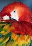 ara Μακάο macaw Στοκ φωτογραφία με δικαίωμα ελεύθερης χρήσης