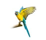 Ara που απομονώνεται μπλε στο λευκό με ανοιγμένα τα μύγα φτερά Στοκ φωτογραφία με δικαίωμα ελεύθερης χρήσης