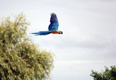 ara που πετά macaw Στοκ Φωτογραφίες