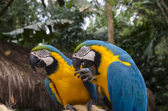 Ara σε Iguacu Στοκ εικόνα με δικαίωμα ελεύθερης χρήσης