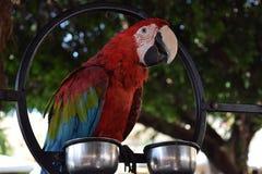 Ara красного цвета perrot стоковое изображение rf