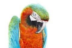 Ara arancio variopinta del pappagallo Immagine Stock Libera da Diritti
