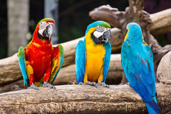 Ara Ararauna和红色和绿色金刚鹦鹉 库存图片