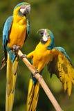 ara ararauna蓝色金刚鹦鹉黄色 免版税图库摄影