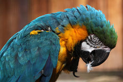 ara ararauna蓝色金刚鹦鹉黄色 库存图片