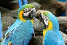 ara ararauna蓝色金刚鹦鹉黄色 库存照片
