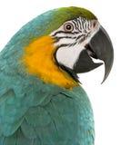 ara ararauna蓝色黄色的关闭金刚鹦鹉 图库摄影