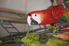 Ara Ararauna όμορφο κόκκινο πουλιών Στοκ Εικόνα