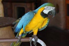 Ara Ararauna попугая Стоковое фото RF