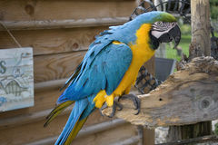 Ara ararauna or blue-and-yellow macaw. Beautiful Ara ararauna or blue-and-yellow macaw on a wooden branch Stock Photo