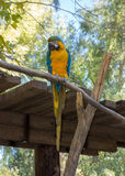 Ara Ararauna or Blue-and-yellow Macaw. Ara Ararauna or blue-and-yellow or blue-and-gold Macaw of South America Stock Image