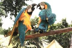 Ara ararauna Dominican Republic Punta Cana stock image