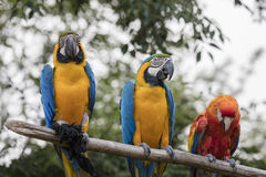 Ara ararauna and macaw parrot on its perch. Colorful ara ararauna and macaw parrot on its perch Stock Image
