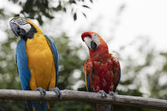 Ara ararauna and macaw parrot on its perch Royalty Free Stock Photos