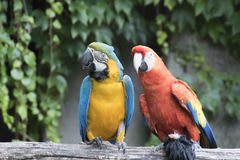 Ara ararauna and macaw parrot on its perch Stock Photos