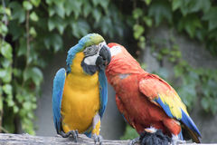 Ara ararauna and macaw parrot on its perch Stock Images