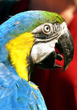Ara Ararauna - papagaio Imagens de Stock Royalty Free
