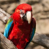 Ara Ararauna parrot Stock Photography