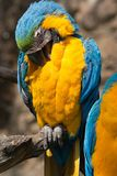 Ara Ararauna parrot Stock Photo